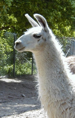 Llary, the helpllama.